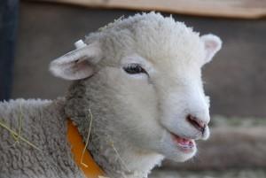 物悲しそうな羊