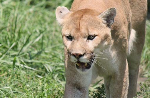 獲物を見つけたライオン