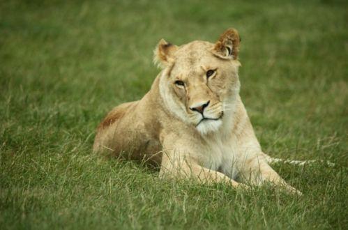 目力のないライオン