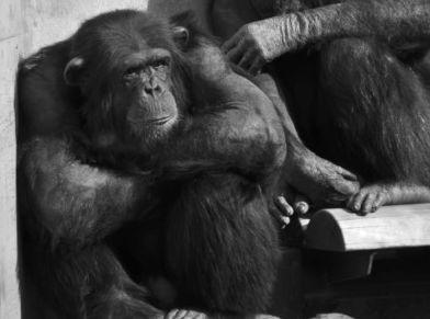 落ち込んでいるチンパンジー