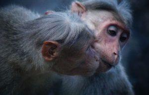 じゃれ合う猿