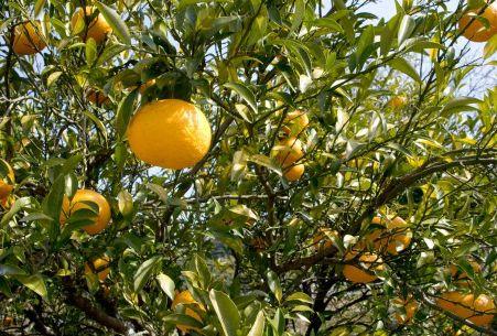 木に実った果実