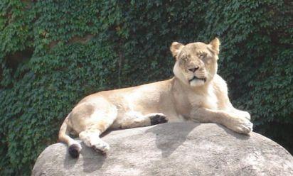 だらけたライオン