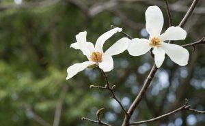 白いコブシの花